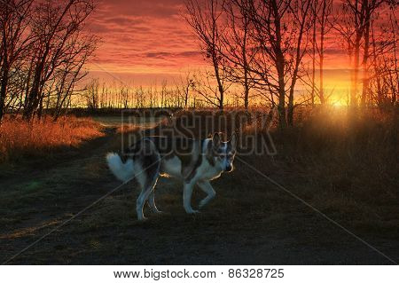 Malamute Dog In The Sunset