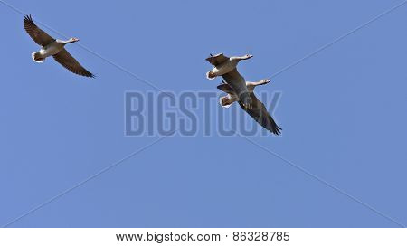 Greylag geese, Anser Anser in flight.