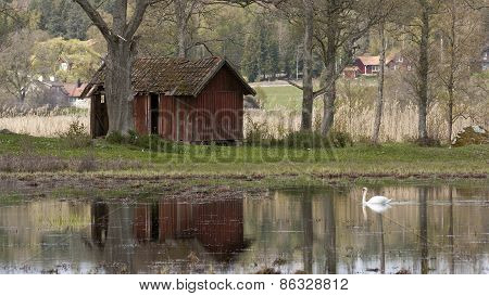 A white mute swan swims in a pond this side a shed.
