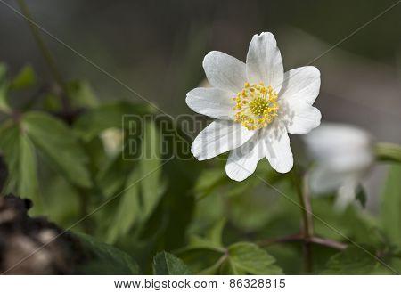 Wood anemone, Anemone nemorosa in spring.