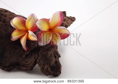 frangipani rest on the tree trunk