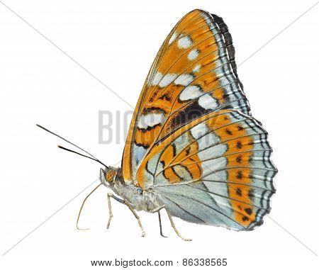 Butterfly (limenitis Populi Ussuriensis)