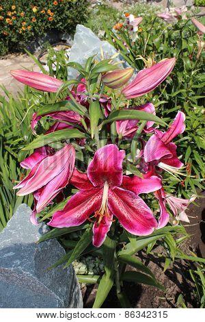 Bloom lilies in the garden