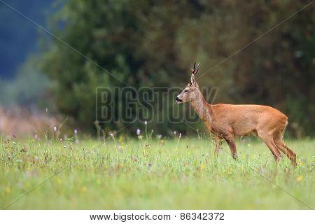 Buck deer in the wild