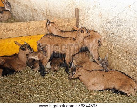 Newborn Kids With Small Horns In Animal Farm