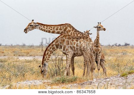 Adult Female Giraffe With Calf Grazzing