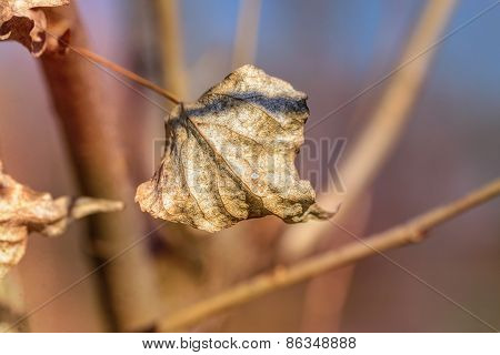 Dry Winter Leaf