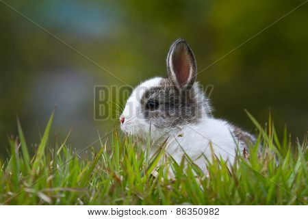 domestic baby rabbit in the grass