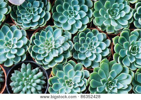 Arrangement Miniature Green Succulent Plants