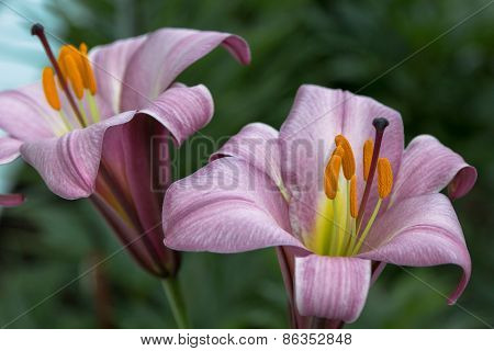 Two Lilac Lilies
