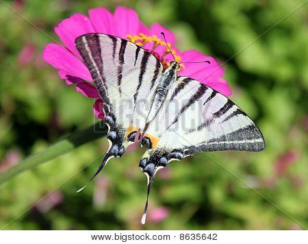 butterfly (Scarce Swallowtail)