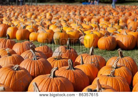 Pumpkins On Farm