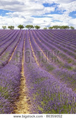 Vertical View Of Lavender Field