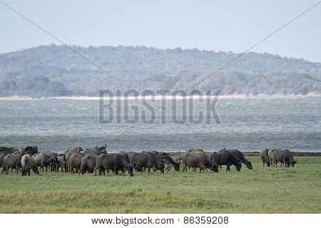 Herd Of Wild Buffalo In Minneriya National Park, Sri Lanka