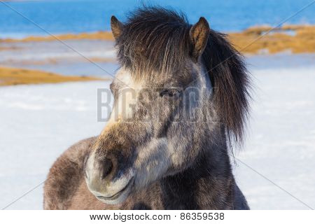Face of Icelandic Horse