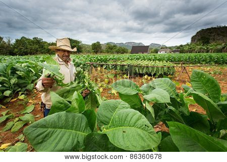 Vinales - February 20: Unknown Man Working On Tobacco Field On February 20, 2015 In Vinales. Vinales