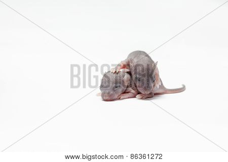 Two Baby Of A Mouse