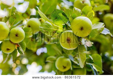 Apple Tree With Green Organic Apples. Healthy Fruits.