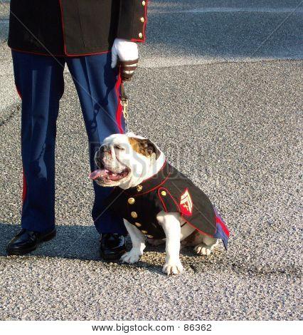 Marine Bull Dog