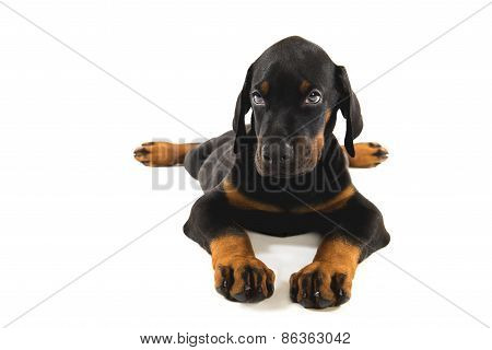 Puppy Of Doberman Pincher