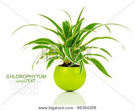 Green Chlorophytum Plant In The Pot, Evergreen Perennial Flowering Plants In The Family Asparagaceae