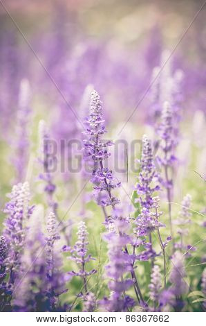 Blue Salvia Flowers In Vintage Tone,out Of Focus