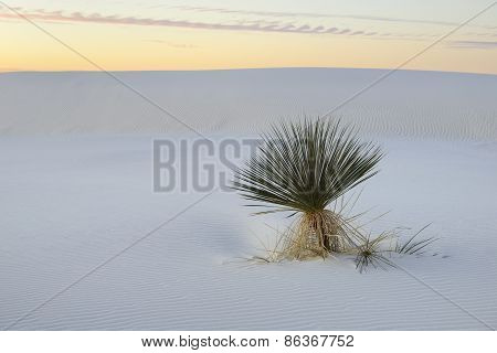 Yucca Plant at Sunrise on White Sand Dune