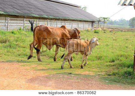 Thai Stlye Commercial Cattle Farm