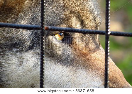 Wolf Per Cage, Sad Eyes