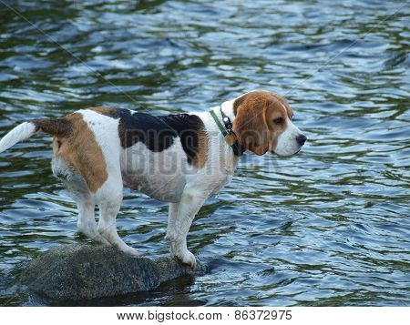 Beagle standing on a rock , the water around. South Bohemia