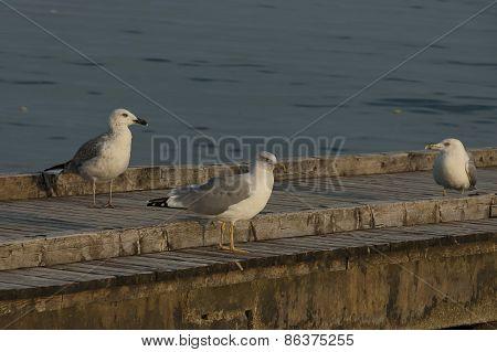 Three seagull perched above on the quay, Lido di Jesolo,  venetian Riviera, Italy