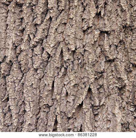 Brwon Cracked Bark On Old Oak Tree