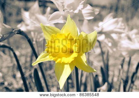 Easter Flower (Daffodil)