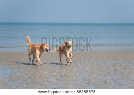 two golden retriever running at the summer beach
