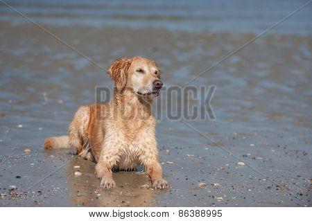 Golden Retriever bitch lying at the beach