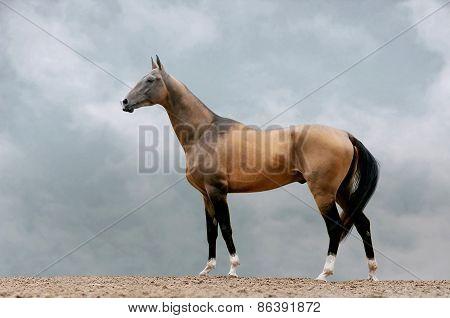Pureblood Akhal-teke Stallion
