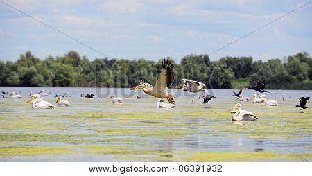 pelicans and cormorans taking off in the Danube Delta, Romania