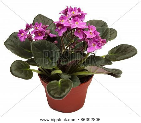 Violets. Home indoor plant in flowerpot isolated on a white background