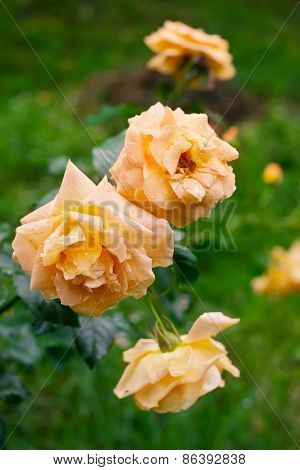 Three Yellow Tea Roses In The Garden After Rain