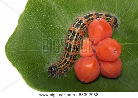 Caterpillar on a leaf caprioli, isolated white background.