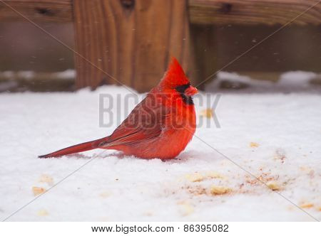 Cardinal - Red