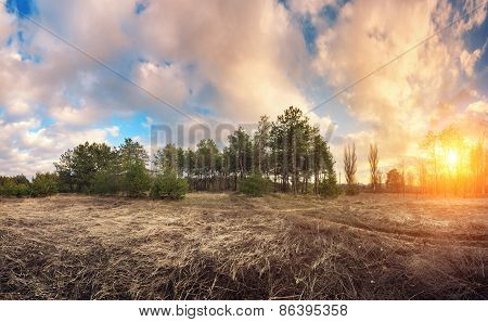 Green Pine Trees In Spring With Blue Sky And Beautiful Clouds At Sunset. Spruce, Fir Tree.