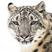 stock photo of snow-leopard  - Frontal Portrait of Snow Leopard in Snow - JPG