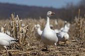 Постер, плакат: Greater Snow Geese in Corn Field