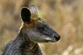 image of wallabies  - Wild wallaby with seasonal pollen and seeds in its fur at Tower Hill Reserve Australia - JPG