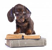 purebred dachshundr in glasses and book poster