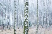 stock photo of birching  - Frozen birch forest landscape - JPG
