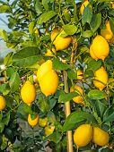 stock photo of messina  - Yellow ripe lemons hung on the tree in warm Mediterranean country - JPG