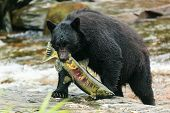 image of omnivore  - The American black bear catching fish, Ketchikan Alaska