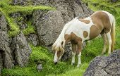 image of iceland farm  - An Icelandic horse roaming free in west Iceland